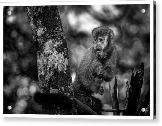 Macaco Prego II Acrylic Print