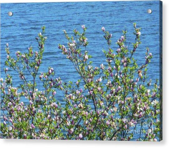 Magnolia Flowering Tree Blue Water Acrylic Print