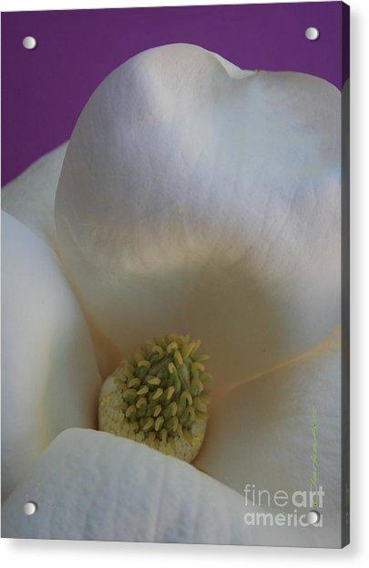Magnolia Macro Against Purple Acrylic Print