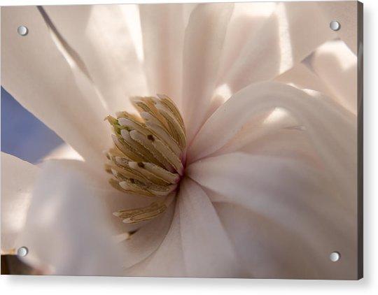 Magnolia Stellata I Acrylic Print