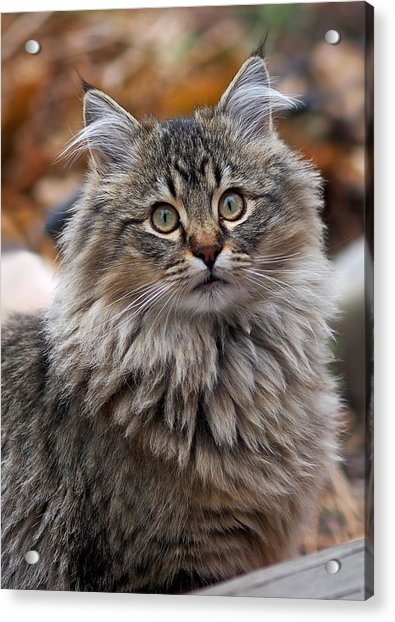 Acrylic Print featuring the photograph Maine Coon Cat by Rona Black