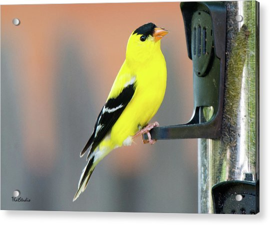 Male American Goldfinch Acrylic Print