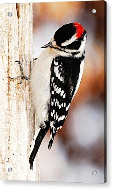 Male Downy Woodpecker 3 Acrylic Print