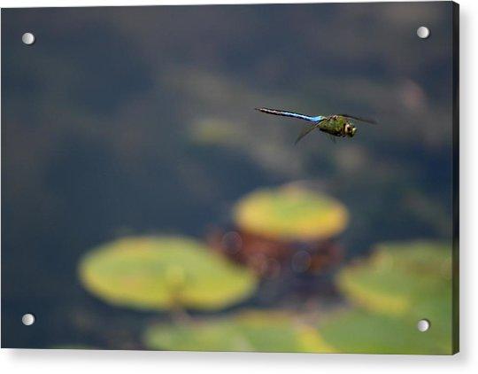 Malibu Blue Dragonfly Flying Over Lotus Pond Acrylic Print