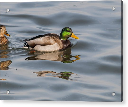 Mallards And Reflection Acrylic Print