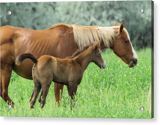 Mare And Colt Acrylic Print