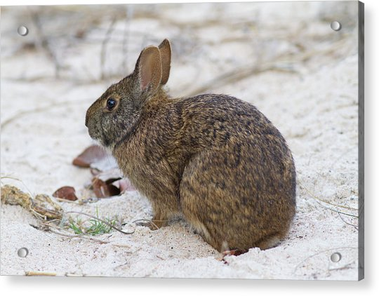 Marsh Rabbit On Dune Acrylic Print