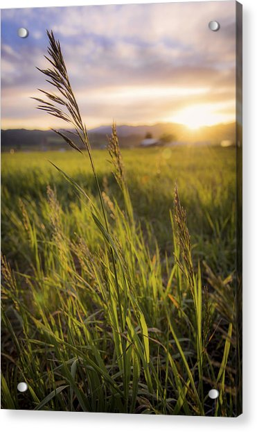 Meadow Light Acrylic Print