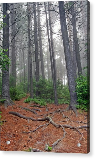 Misty Morning In An Algonquin Forest Acrylic Print