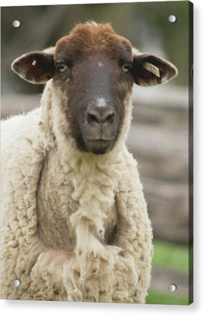 Moma Sheep Acrylic Print