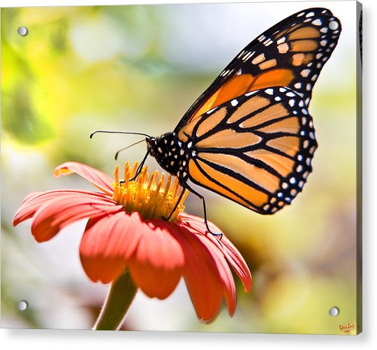 Acrylic Print featuring the photograph Monarch Butterfly by Chris Lord
