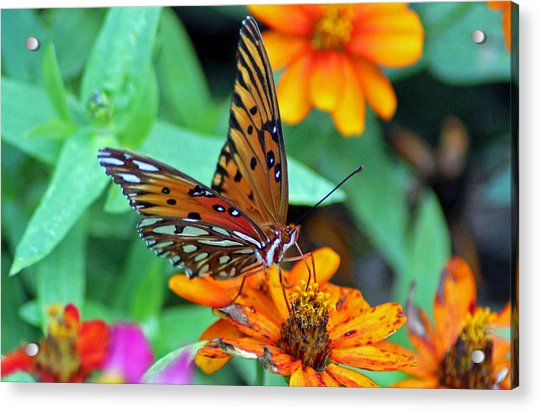 Acrylic Print featuring the photograph Monarch Butterfly Resting by Cynthia Guinn