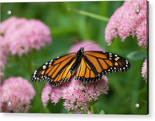 Monarch On Sedum Acrylic Print