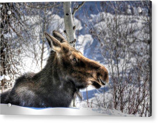 Moose On The Loose Acrylic Print
