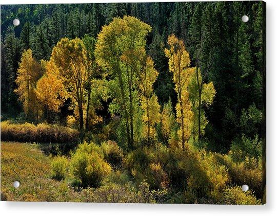 Morning Cottonwoods Acrylic Print