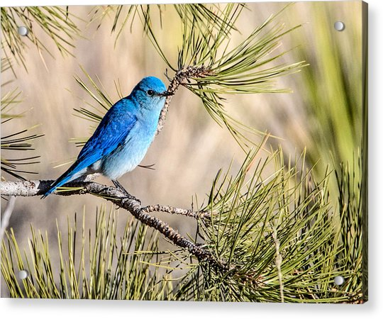 Mountain Bluebird In A Pine Acrylic Print