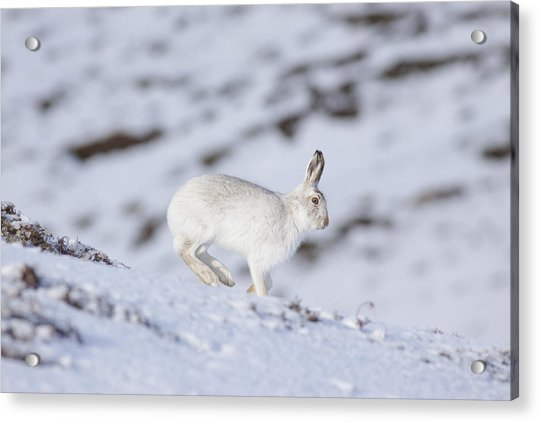 Mountain Hare - Scottish Highlands  #12 Acrylic Print