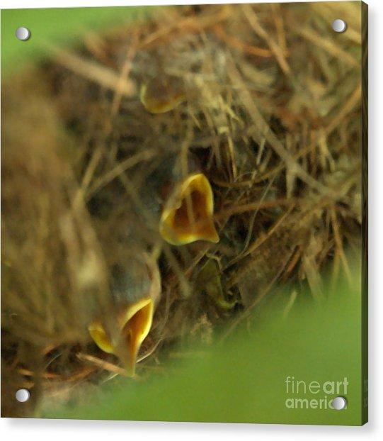 Nestlings Acrylic Print