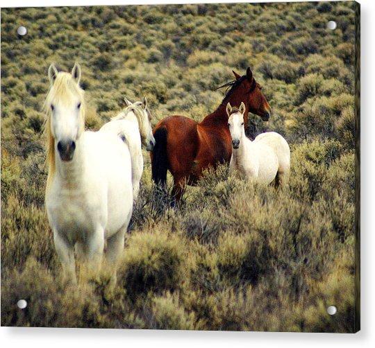 Nevada Wild Horses Acrylic Print