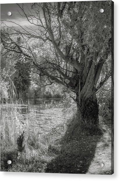 Old Willow Acrylic Print