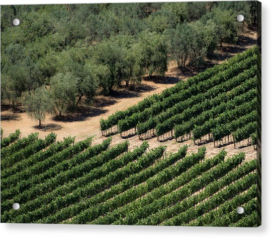 Olive Grove Meets Vineyard Acrylic Print