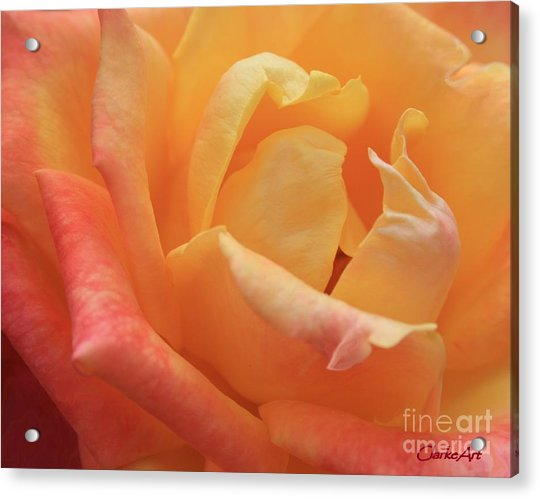 Ombre Rose Acrylic Print