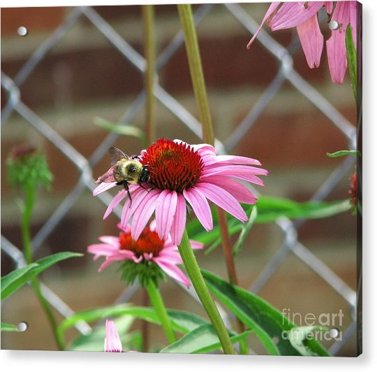 On A Mission Acrylic Print
