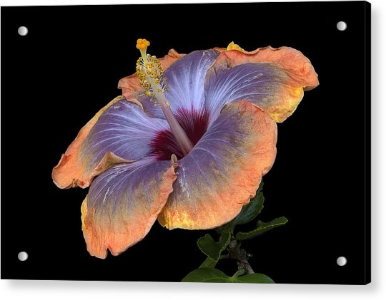 Orange-blue Hibiscus Acrylic Print