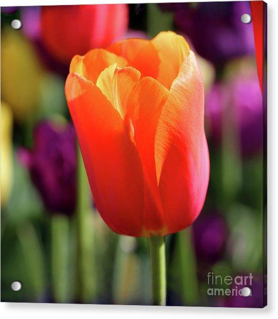Orange Tulip Square Acrylic Print