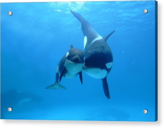 Orca Orcinus Orca Mother And Newborn Acrylic Print