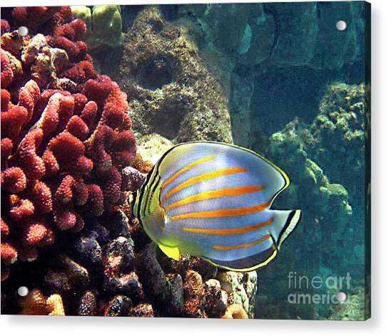 Ornate Butterflyfish On The Reef Acrylic Print