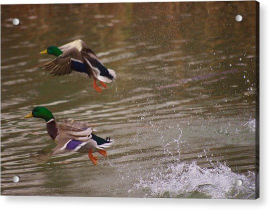 Pair Of Ducks Acrylic Print