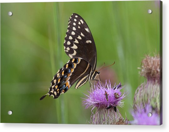 Palamedes Swallowtail And Friends Acrylic Print