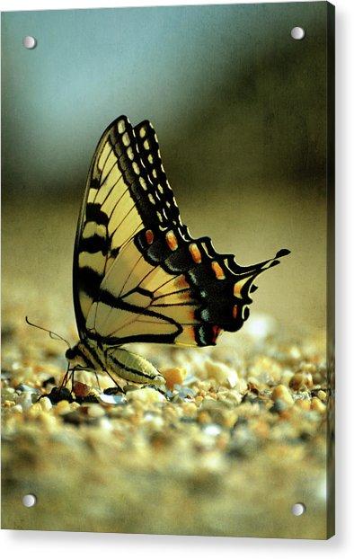 Papilio Glaucus Eastern Tiger Swallowtail Acrylic Print