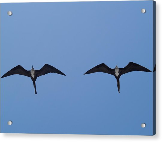 Partners In Flight Acrylic Print by Richard Mansfield