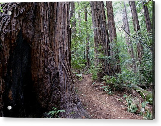 Pathway Through A Redwood Forest On Mt Tamalpais Acrylic Print