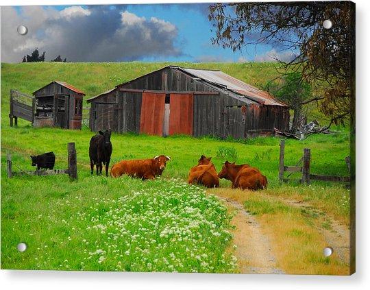 Peaceful Cows Acrylic Print