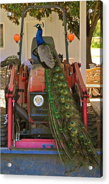 Peacock And His Ride Acrylic Print