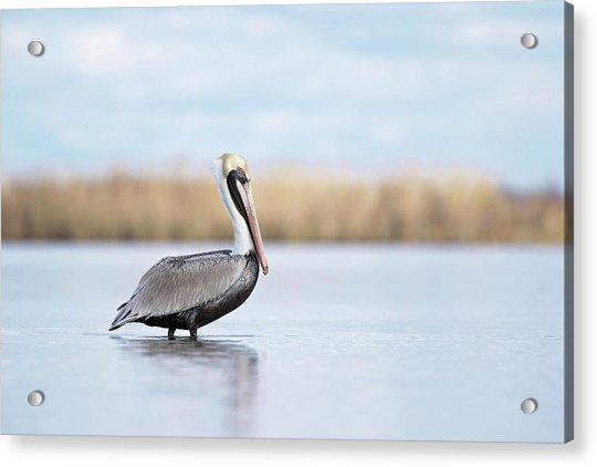 Pelican In Paradise Acrylic Print