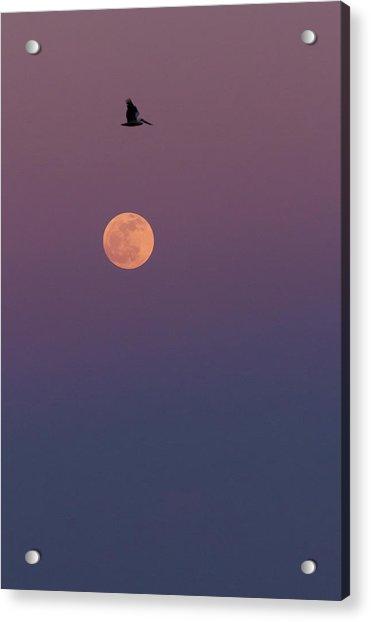 Pelican Over The Moon Acrylic Print