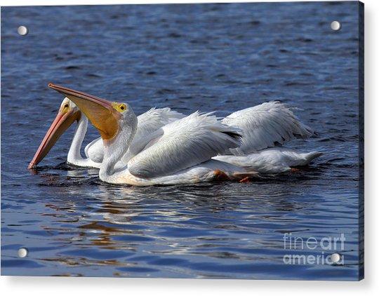 Pelicans Feeding Acrylic Print by Rick Mann