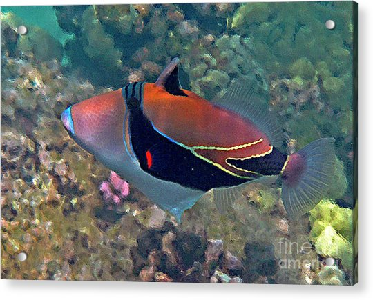 Picasso Triggerfish Up Close Acrylic Print