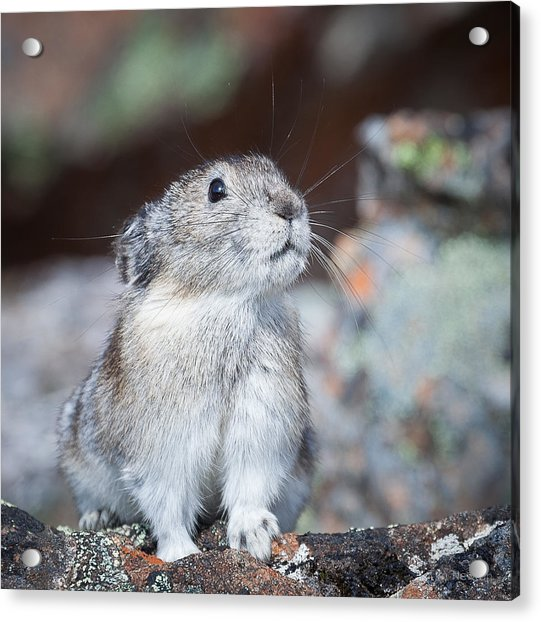 Acrylic Print featuring the photograph Pika Portrait by Tim Newton