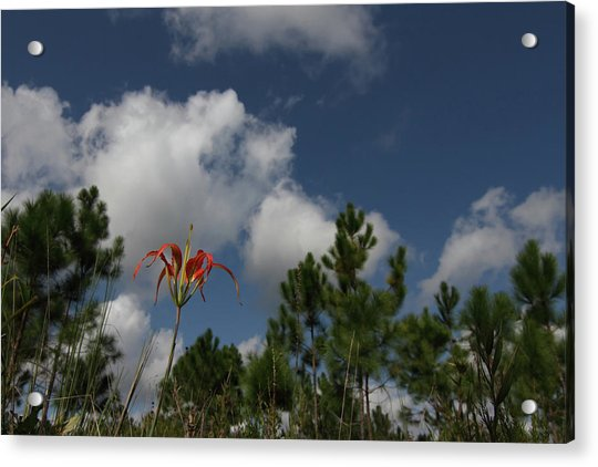 Pine Lily And Pines Acrylic Print