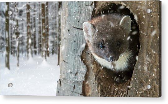 Pine Marten In Tree In Winter Acrylic Print