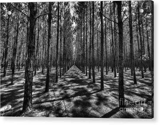 Pine Plantation Wide Acrylic Print