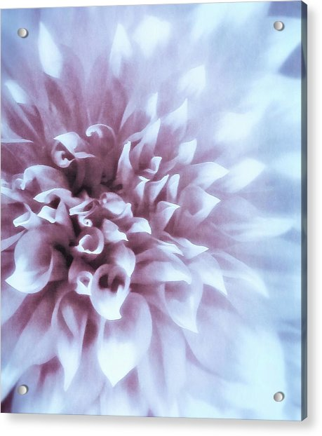 Pink And Blue Dahlia Acrylic Print