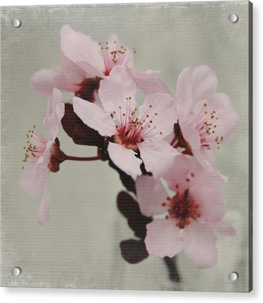 Pink Blossoms 1- Art By Linda Woods Acrylic Print