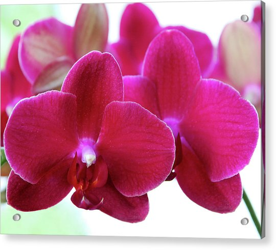Red Orchid Acrylic Print