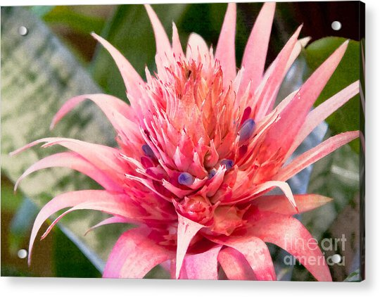 Pink Protea Art Acrylic Print by Sherry  Curry